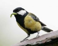 Great Tit with food - 6670
