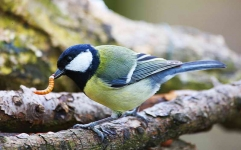 Great Tit with grub - 1078