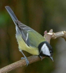 Great tit - 5152
