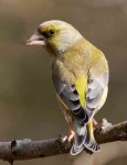 Greenfinch - 0197