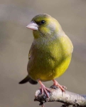 Greenfinch - 0459