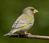 Greenfinch - 3141