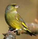 Greenfinch - 3160