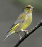 Greenfinch - 4065