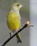 Greenfinch - 4066