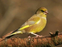 Greenfinch - 5548