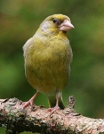 Greenfinch - 7448