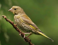 Greenfinch - 8397