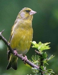 Greenfinch - 8638