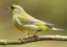 Greenfinch - 8671
