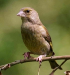 Greenfinch - 8748