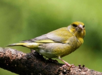 Greenfinch - 8751