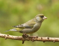 Greenfinch - 9093