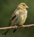 Greenfinch Chick - 0381