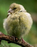 Greenfinch Chick front - 0512