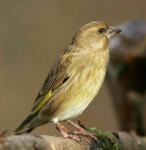 Greenfinch Hen - 3261