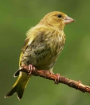 Greenfinch chick - 0164