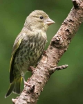 Greenfinch chick - 7138