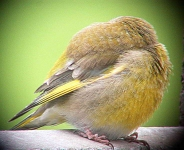 Greenfinch chick sleeping - 0756