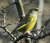 Greenfinch-cock - 5835
