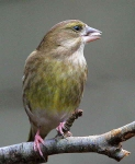 Greenfinch feeding - 4037