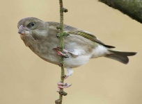 Greenfinch hanging - 4297