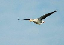 Greylag flying - 6981
