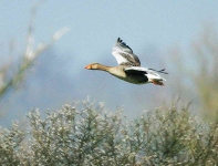 Greylag flying - 6990