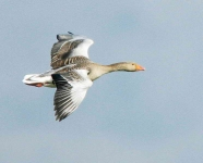 Greylag flying - 7028