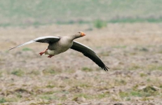 Greylag gliding to stubble - 4324