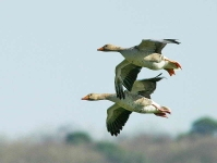 Greylags flying - 6619
