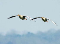 Greylags flying - 6715