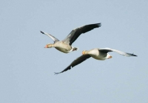 Greylags flying - 6987