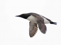 Guillemot flying - 1567