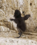 Guillemot lost chick - 1370