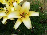 Lily-Yellow - 1020875