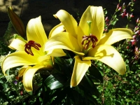 Lily-yellow - 1020848