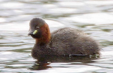 Little Grebe - 6839