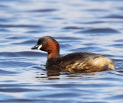 Little Grebe - 9066