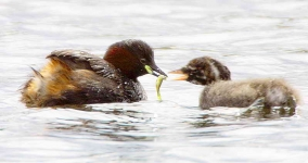 Little grebe and chick - 6846