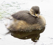 Little grebe chick - 6824