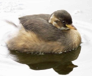 Little grebe chick - 6827