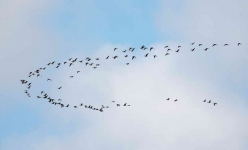Migrating Pinkfeet - 8821