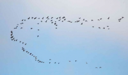 Migrating Pinkfeet - 8822