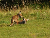 Play fighting foxes-9117