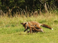 Play fighting foxes-9119