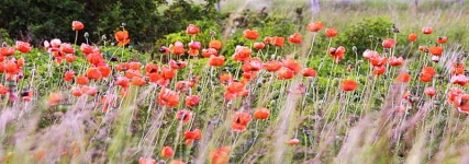 Poppies - roadside - 3636
