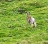 Rabbit running - 2837