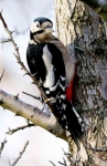 Woodpecker-Hen - 0009