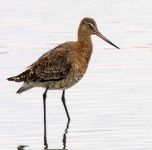 black tailed godwit - 4268